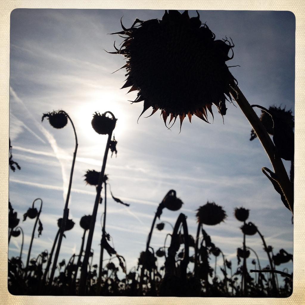 herbst sonnenblumen